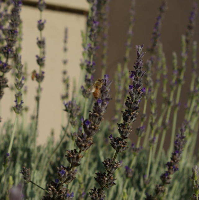 bees on lavender spikes