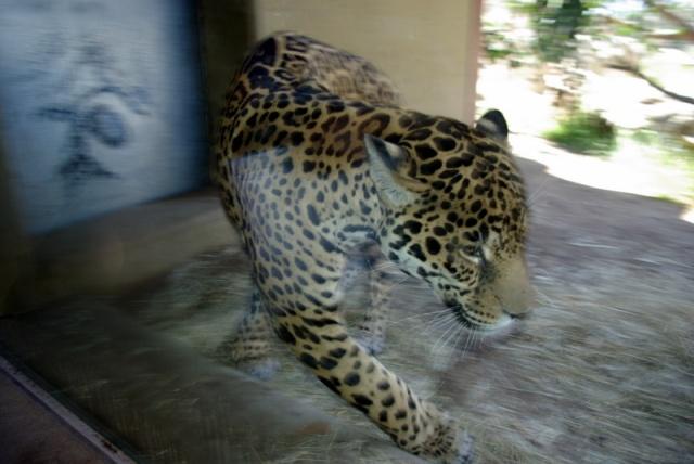 stir-crazy jaguar