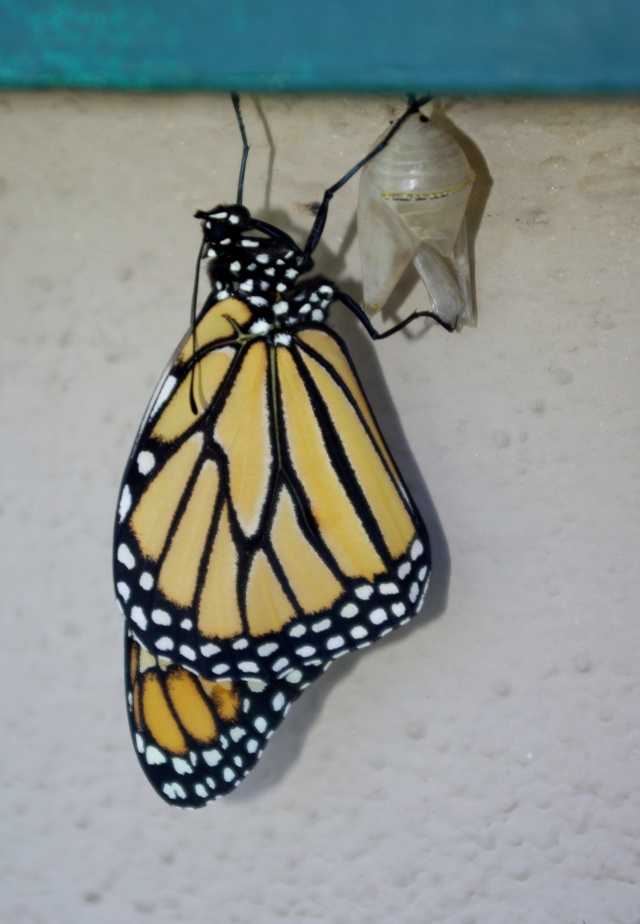 Monarch out of the chrysalis