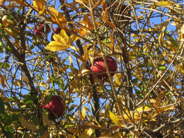 pomegranate in the fall